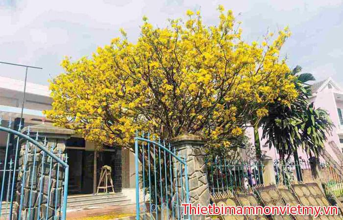 Huong Dan Trang Tri Cay Mai Gia Ngay Tet Cuc Dep 2