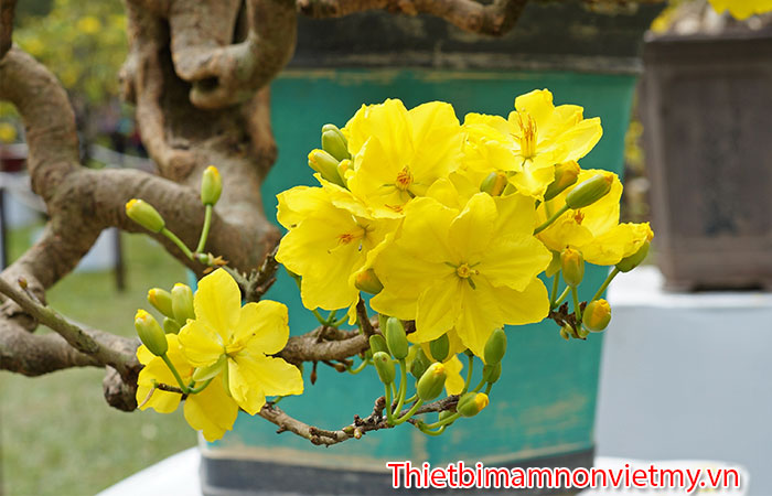 Huong Dan Trang Tri Cay Mai Gia Ngay Tet Cuc Dep 3